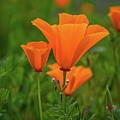 Poppy Perfection In Walker Canyon by Lynn Bauer