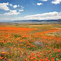 Poppy Valley by Endre Balogh