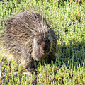 Porcupine 2 by Michael Chatt