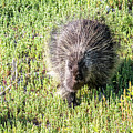 Porcupine 3 by Michael Chatt