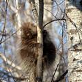 Porcupine by Susan Rissi Tregoning