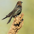Portrait Of A Cowbird by Judi Dressler
