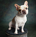 Portrait Of A French Bulldog by Panoramic Images