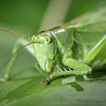 Portrait Of A Great Green Bush-cricket Sitting On A Leaf by Stefan Rotter