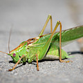 Portrait Of A Great Green Bush-cricket Sitting On The Pavement by Stefan Rotter