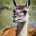Portrait Of A Guanaco, Patagonia by Lyl Dil Creations
