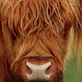 Portrait Of A Highland Cow by Maria Gaellman