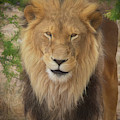 Portrait Of A King By Tl Wilson Photography by Teresa Wilson
