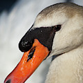 Portrait Of A  Swan by Karol Livote
