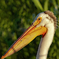 Portrait Of An American White Pelican 2014-2 by Thomas Young