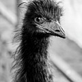 Portrait Of An Emu by Borja Robles