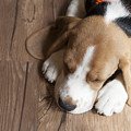 Portrait Of Young Beagle Dog Lying On by Champiofoto