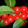 Possumhaw Berries by David Morefield
