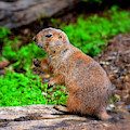 Prairie Dog Offering by Patti Whitten