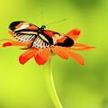 Precious Piano Key Butterfly by Sabrina L Ryan