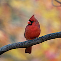 Pretty Cardinal by Dan Friend