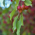 Pretty Cherries Hanging From Tree by Brenda Landdeck