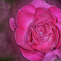 Pretty In Pink Rose  by Susan Candelario