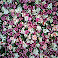 Pretty Pattern Of Pink And White Roses by Jaroslaw Blaminsky