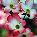 Pretty Pink Dogwood Blossoms by D Hackett