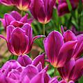 Pretty Purple Tulips by Louis Dallara