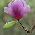 Pretty Soulange Magnolia by Jaroslaw Blaminsky