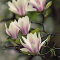 Pretty White And Pink Magnolia by Jaroslaw Blaminsky