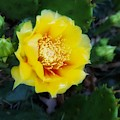 Prickly Pear Cactus Bloom by Rachel Hannah