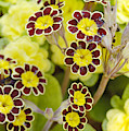 Primula Gold Lace by Victor Lord Denovan
