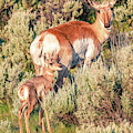 Pronghorn Mother by Dan Sproul