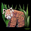 Protect The Red Panda by Carol Cavalaris