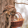 Protective Barred Owl Mom by Dan Sproul