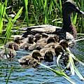 Proud Mother Duck by Ingrid Huetten