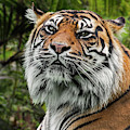 Proud Sumatran Tiger by Arterra Picture Library