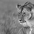 Prowling Lioness by Wldavies