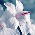 Pua Aloalo - Koki'o Ke'oke'o - Hibiscus Arnottianus - Hawaii by Sharon Mau