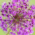 Purple Allium Flower by Scott Lyons