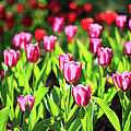 Purple And Red Tulips Under Sun Light by Samyaoo