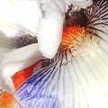 Purple And White Iris by Angelika GAIGL