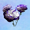 Purple And White Lisianthus by Susan Savad