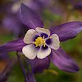 Purple Columbine by Keith Smith