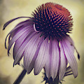 Purple Coneflower by Deena Athans