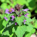 Purple Dead-nettle Or Red Dead-nettle Dfl0960 by Gerry Gantt