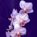 Purple Dream by Rosalie Scanlon