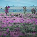 Purple Grain by Doug Sturgess