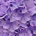 Purple Hydrangea  by Cindy Greenstein