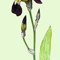 Purple Iris by Deborah Eve Alastra