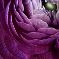 Purple Ranunculus Flower by Julie Scholz