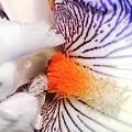 Purple White Iris by Angelika GAIGL