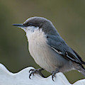 Pygmy Nuthatch At Attention by Cascade Colors